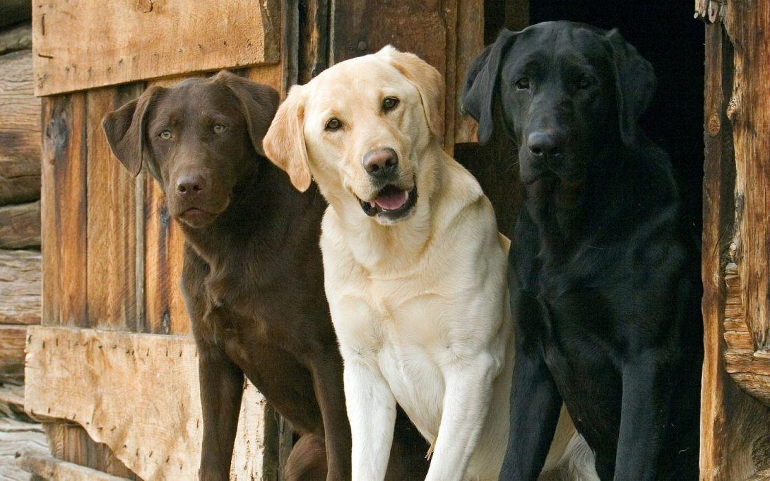 Animals dogs labrador retriever interracial wallpaper