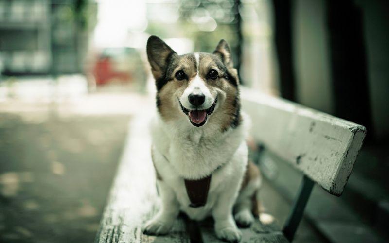 Animals photography dogs bench corgi depth of field pets wallpaper