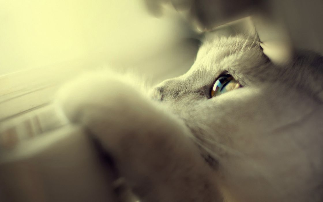 Cute White Cats Blue Eyes Wallpaper