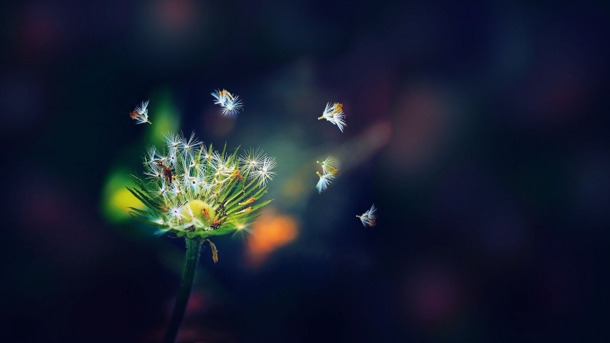 Flowers plants dandelions seeds flower petals wallpaper
