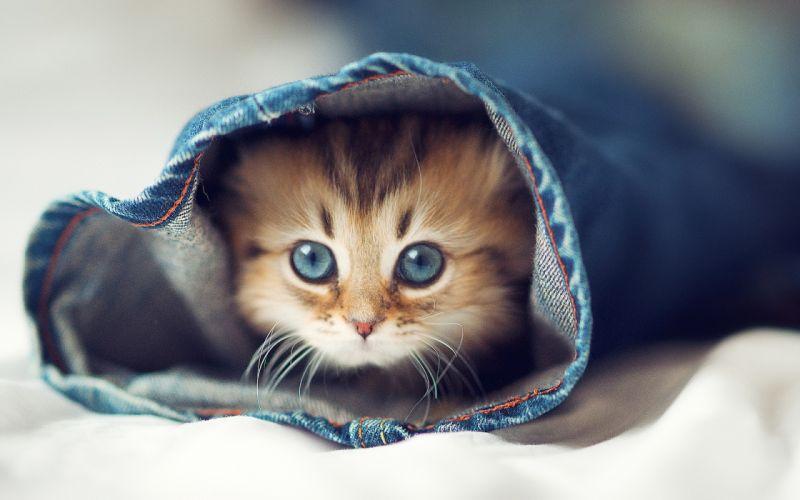 Jeans cats animals kittens pets wallpaper
