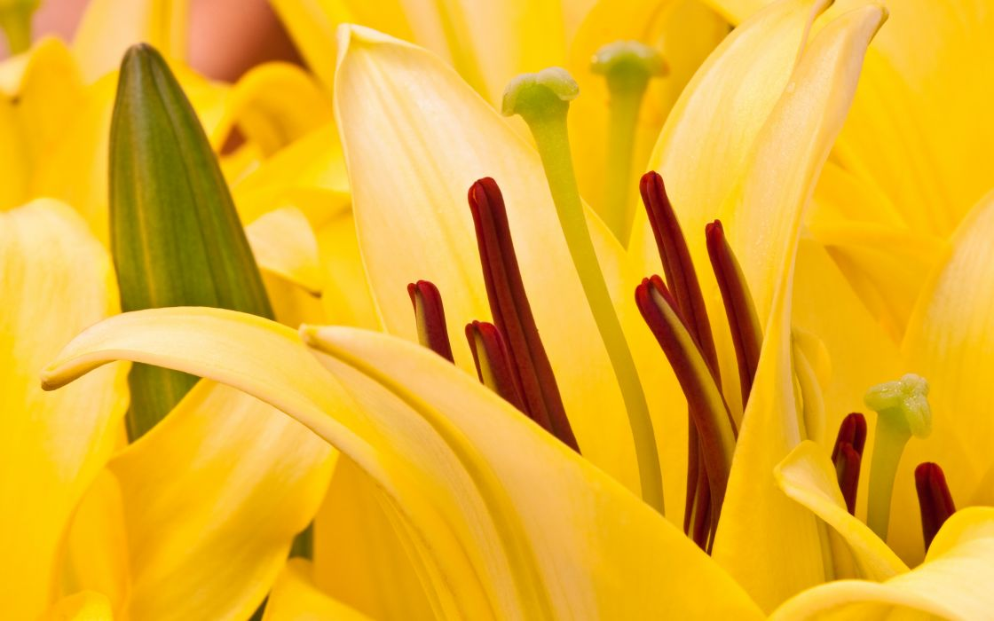 Oriental lilies wallpaper