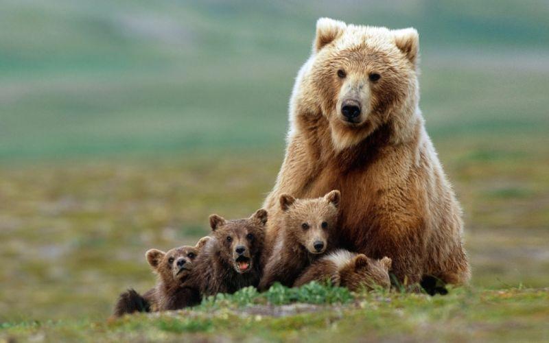 Animals bears baby animals wallpaper