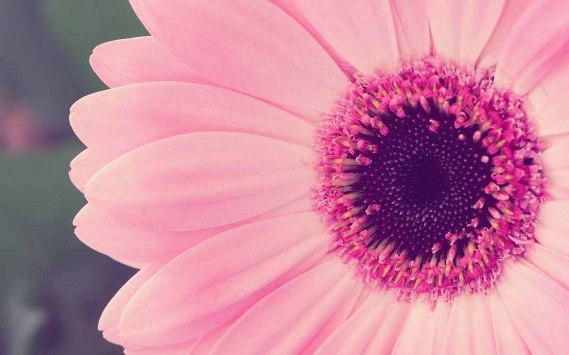 Close-up nature flowers pink flower petals wallpaper