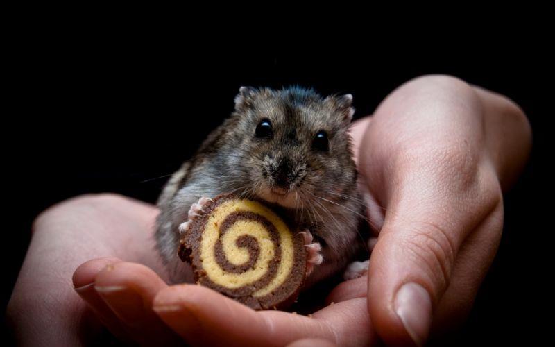 Animals food hands hamsters black background wallpaper