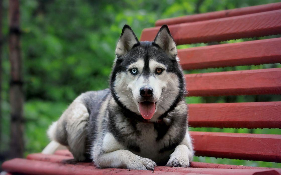 Animals dogs bench husky siberian husky wallpaper