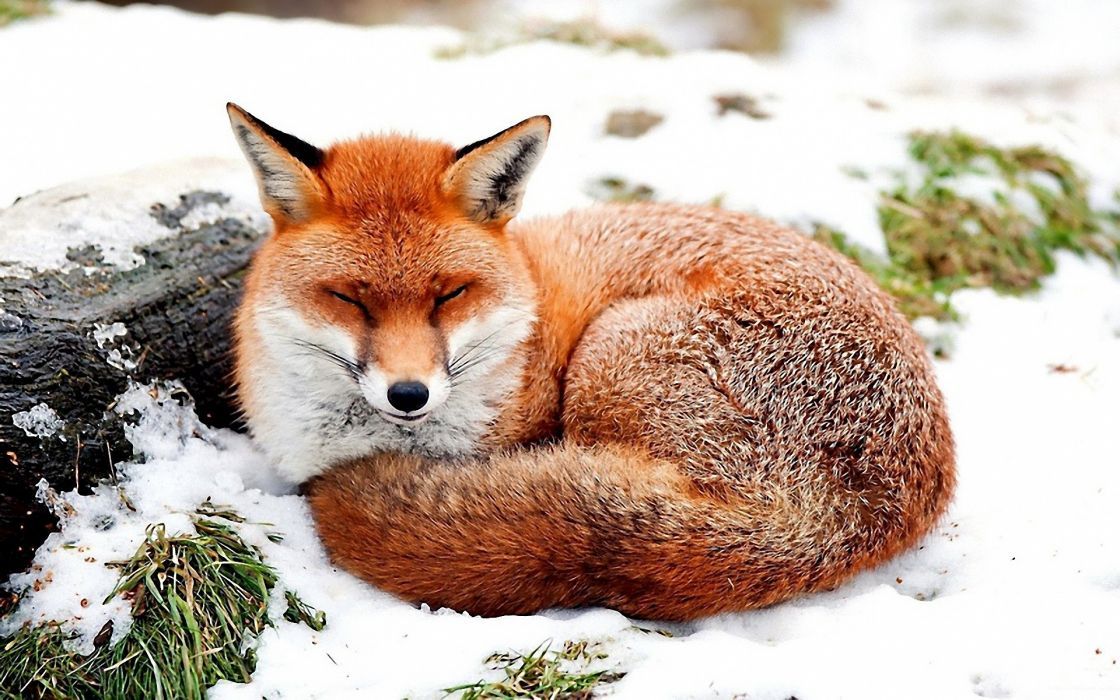 Snow animals foxes wallpaper