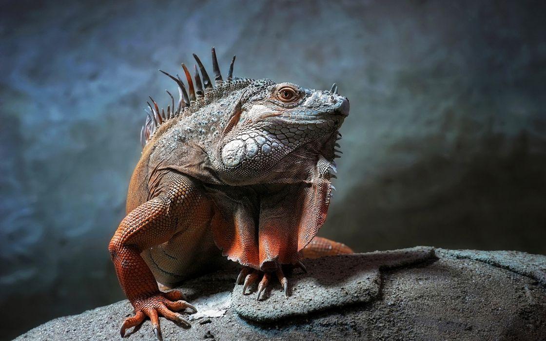 Animals lizards reptiles iguana wallpaper