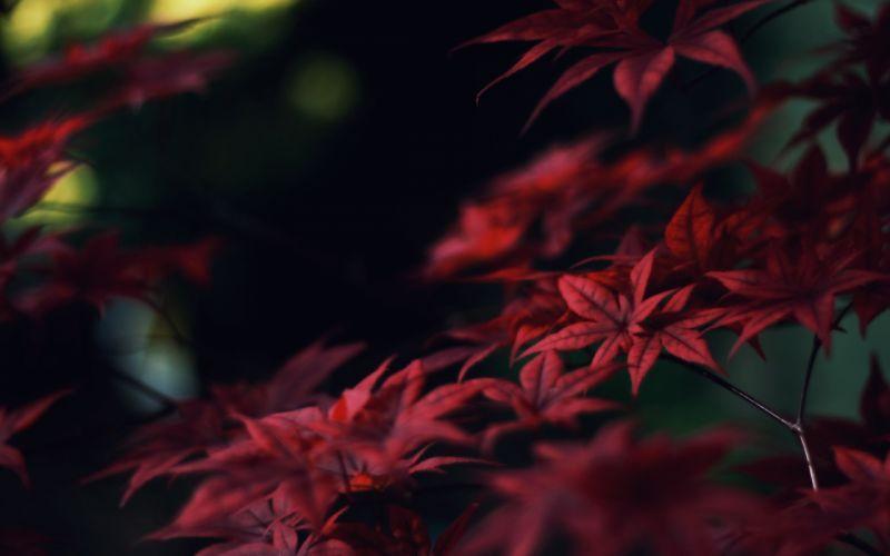Japan nature trees leaves macro depth of field wallpaper