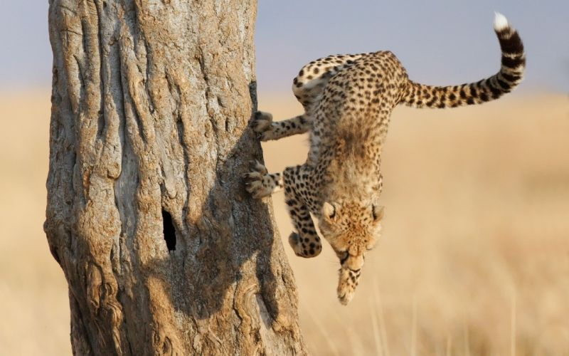 Cats animals cheetahs wallpaper
