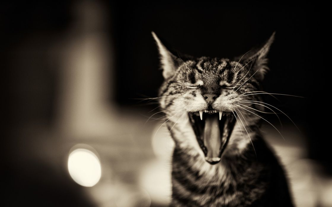 Cats animals mouth pets wallpaper
