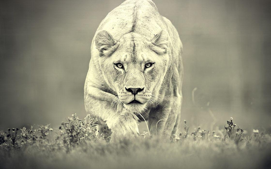 Cats animals grayscale monochrome lions wallpaper