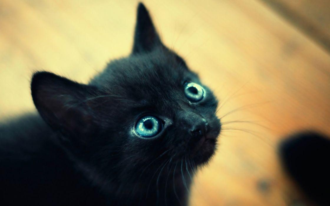 Cats blue eyes animals kittens wallpaper
