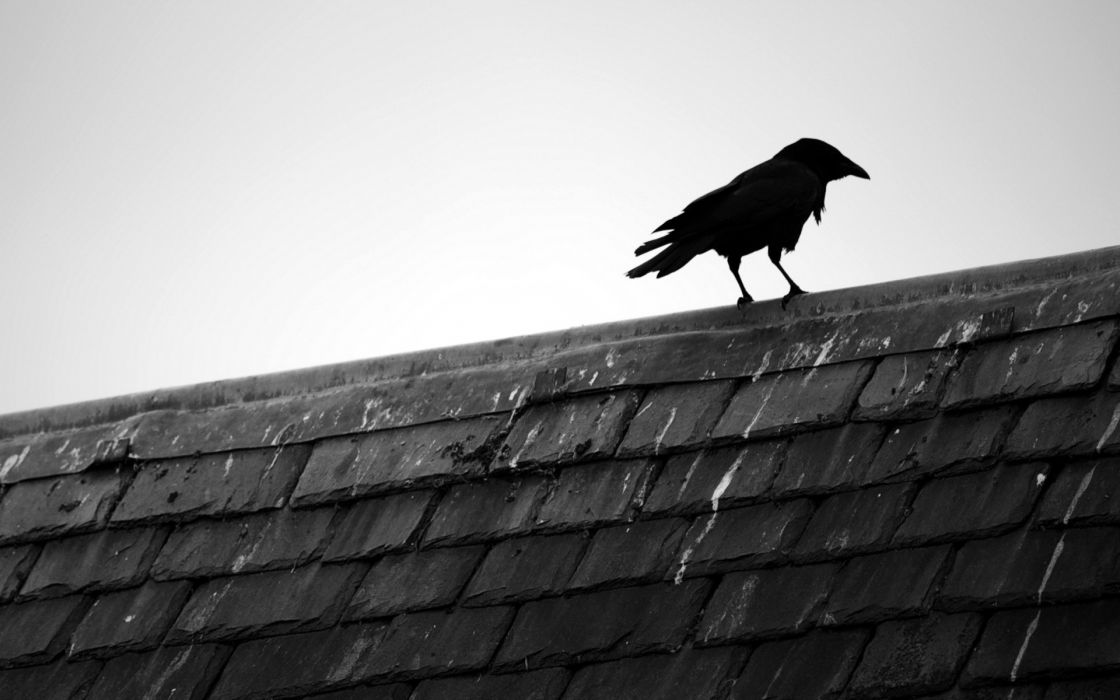 Black and white birds animals rooftops black bird raven wallpaper