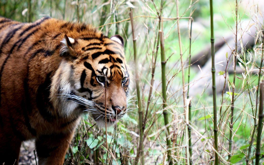 Cats animals tigers wallpaper