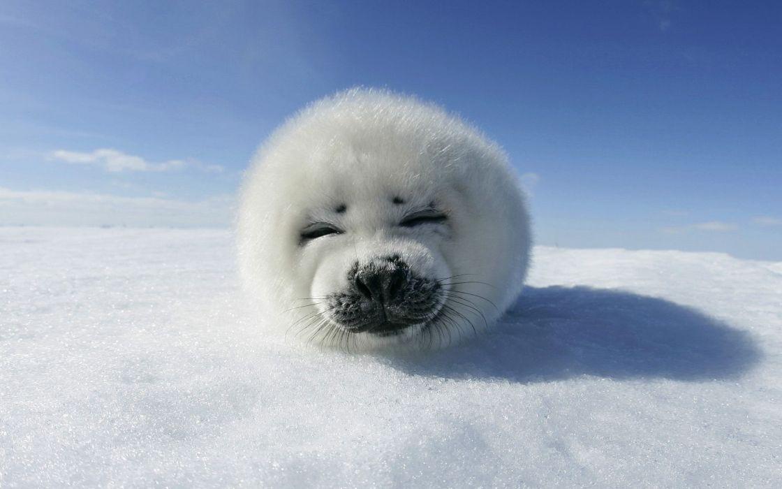 Snow seals animals wallpaper
