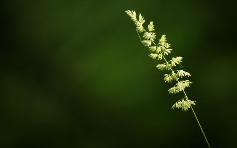 Green nature grass wheat spider webs wallpaper