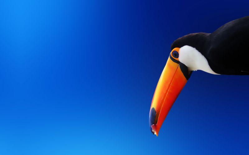 Blue birds animals blue background toucans wallpaper