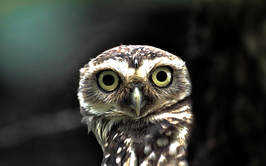 Birds yellow eyes owls big eyes flickr owlet wallpaper