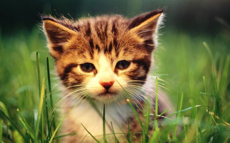 Cats animals grass kittens baby animals wallpaper