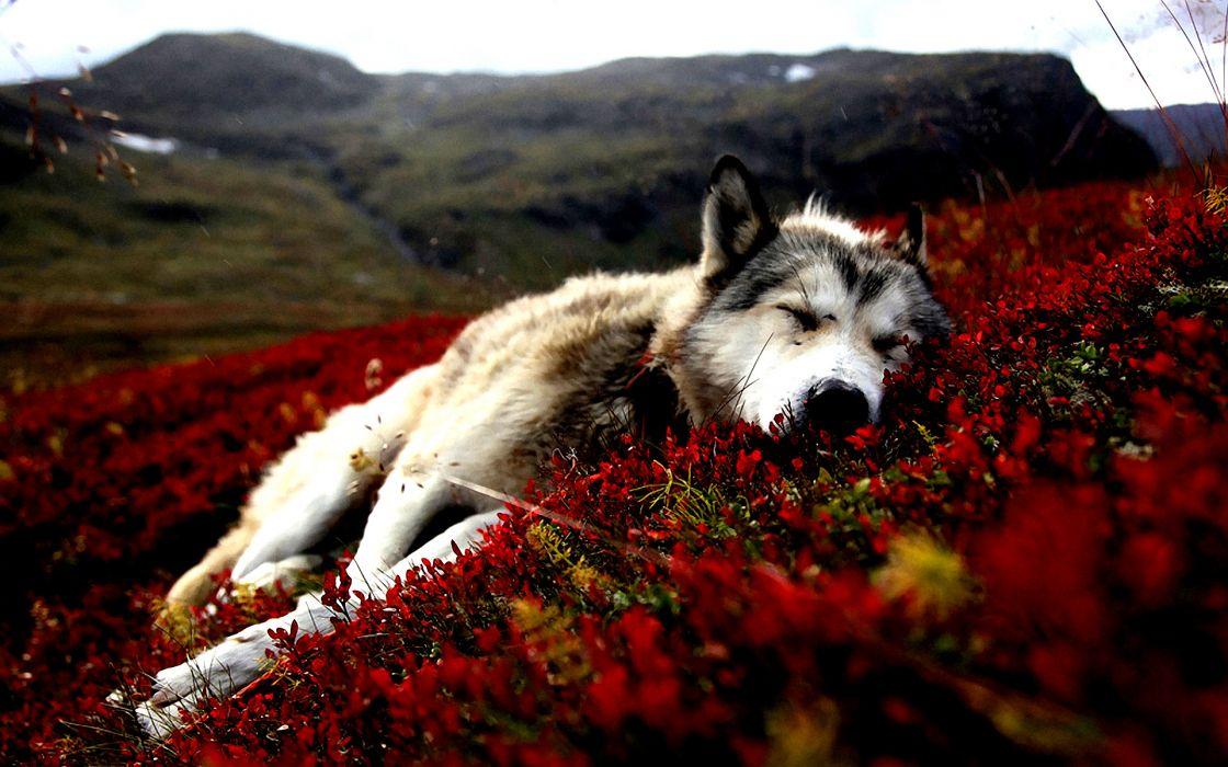 Dogs alaska sleeping wallpaper