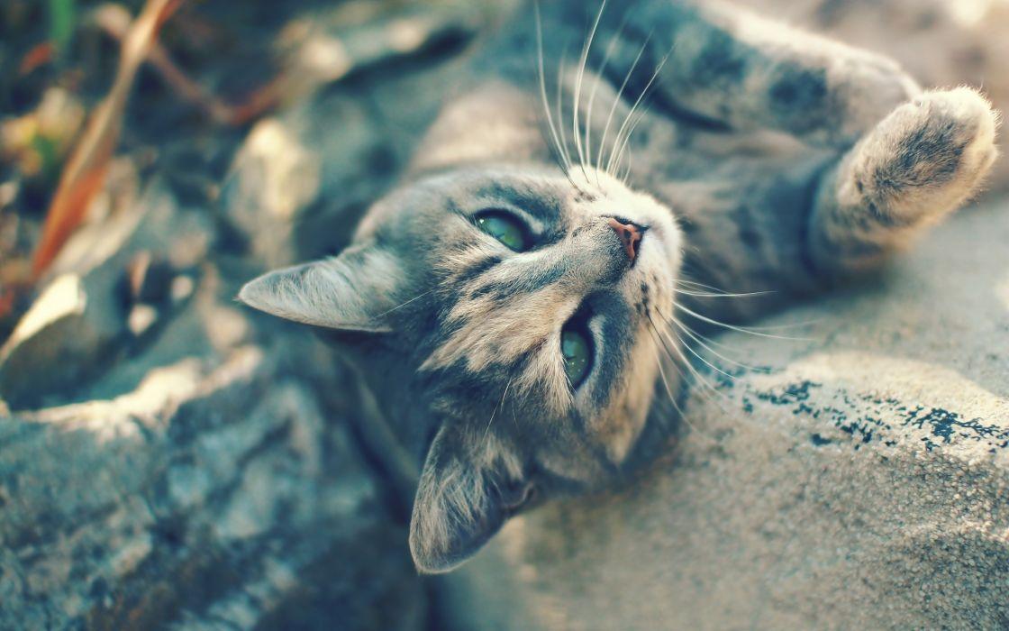 Cats animals pets wallpaper