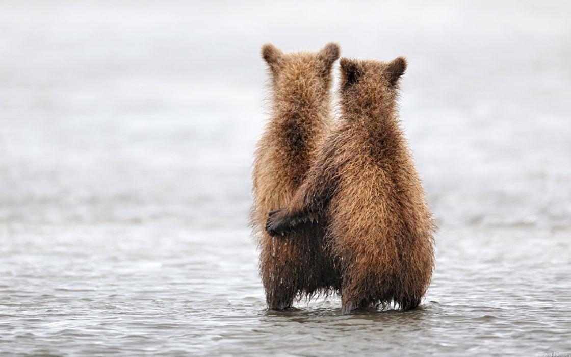 Water animals bears pair wallpaper