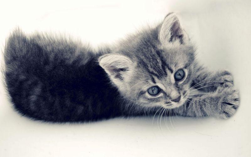 Cats animals kittens white background wallpaper