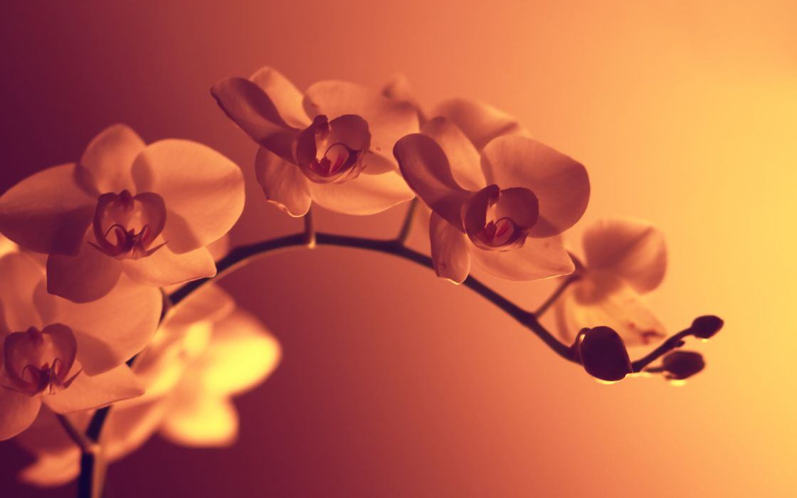 Flowers sepia monochrome wallpaper