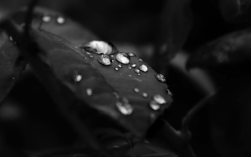 Black and white leaf water drops wallpaper