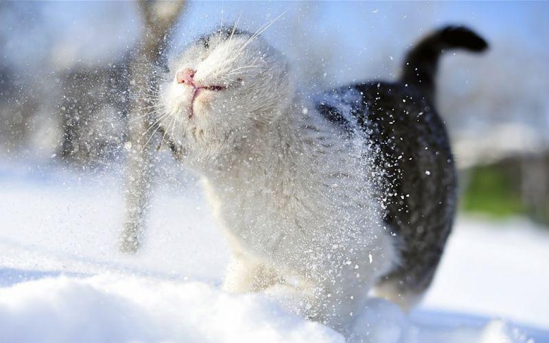 Snow cats animals outdoors wallpaper