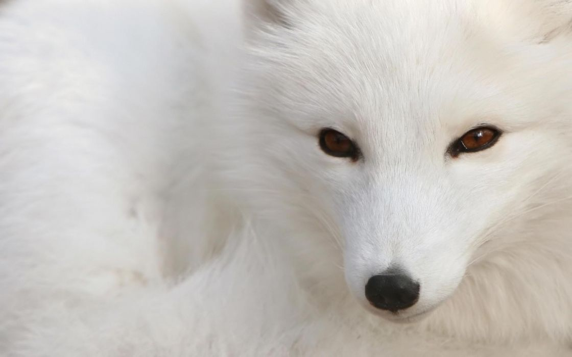 Nature animals brown eyes beast arctic fox foxes wallpaper