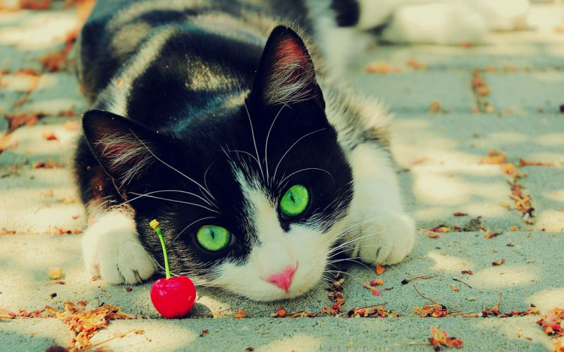 Nature cats animals cherries green eyes feline pets wallpaper