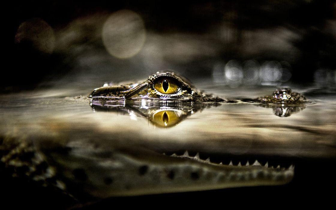 Water eyes animals bokeh alligators reptiles melody wallpaper