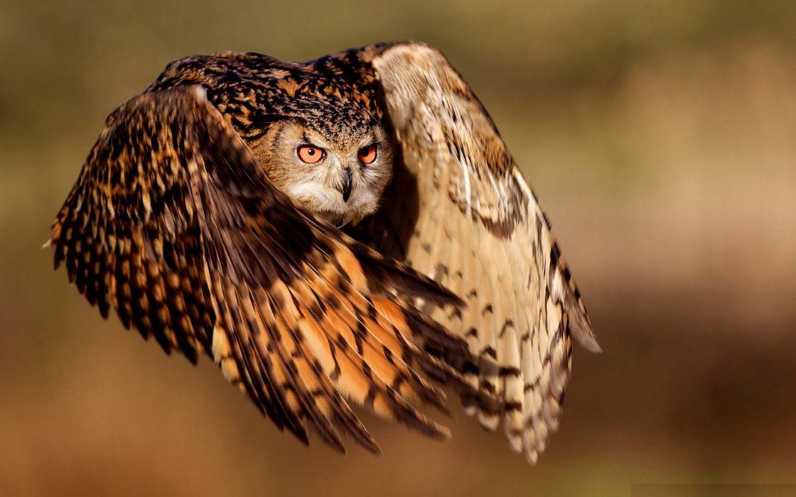 Nature flying birds animals owls wallpaper