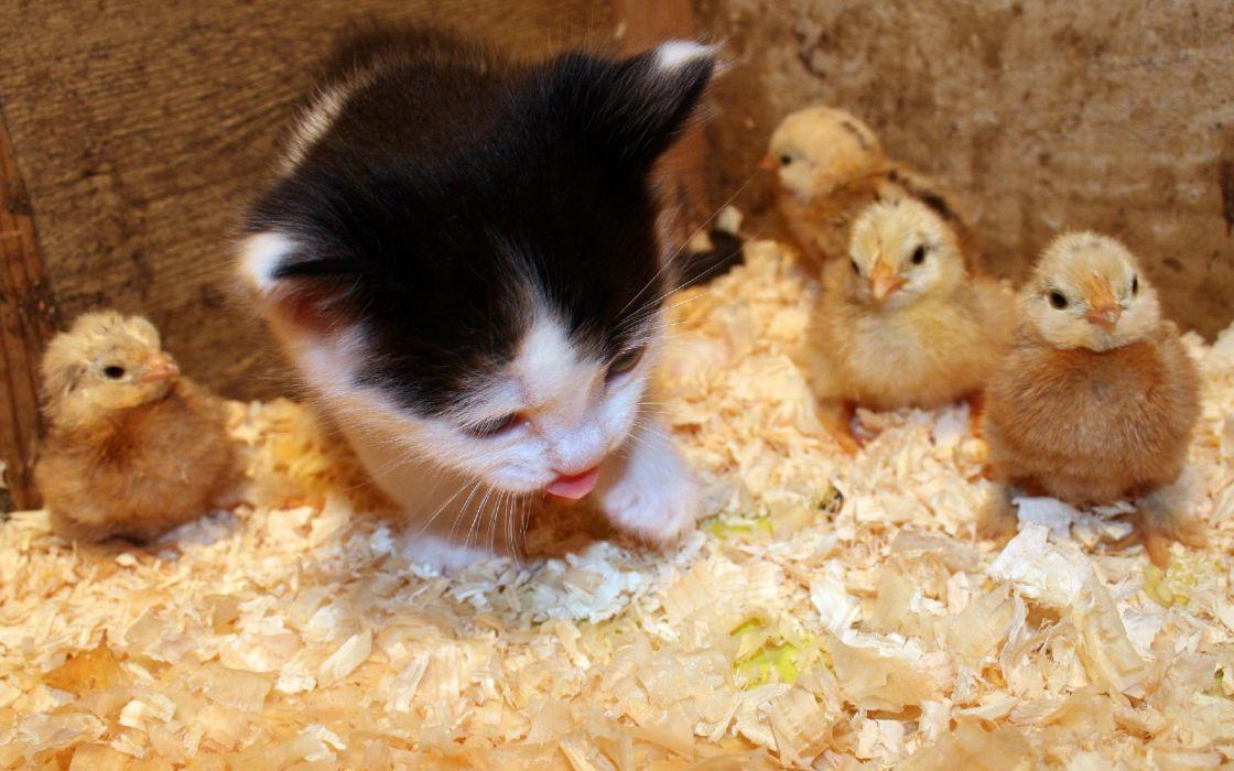 Cats animals chickens kittens chicks (chickens) baby birds wallpaper