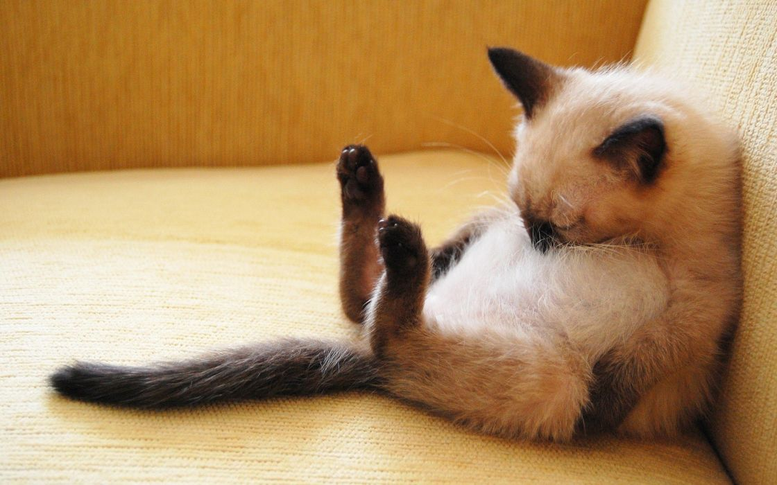 Cats animals sleeping siamese wallpaper