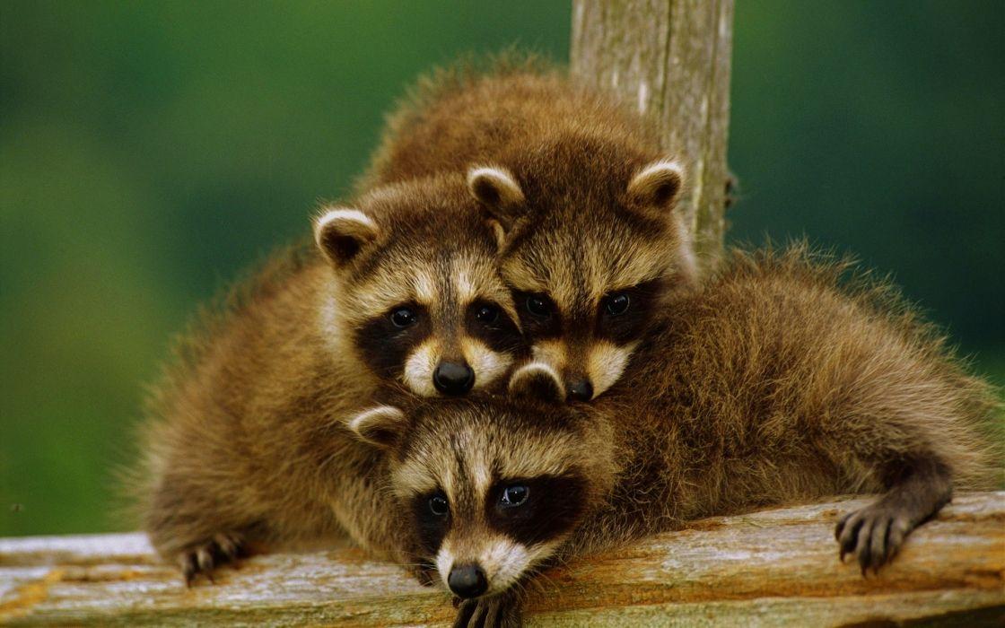 Animals procyon wallpaper