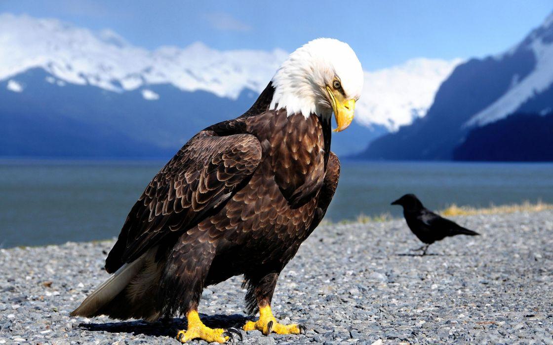 Mountains eagles bald eagles lakes wallpaper