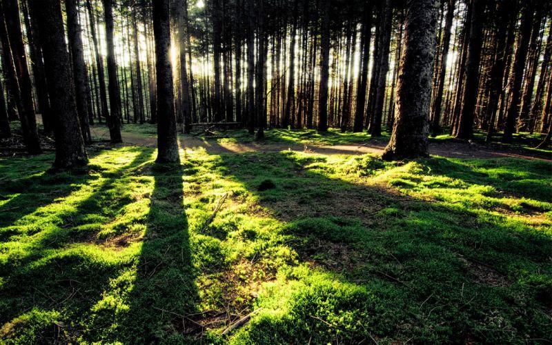 Trees forest sunlight wallpaper
