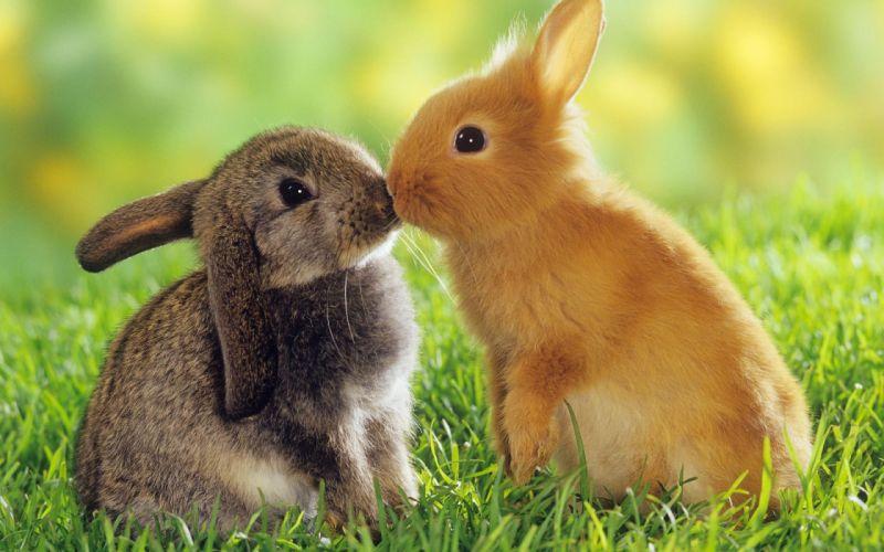 Bunnies animals kissing easter wallpaper