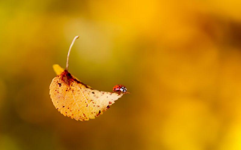 Leaves bugs macro ladybirds wallpaper