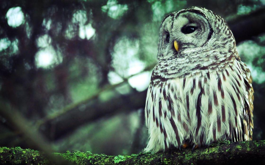 Forest birds owls wallpaper