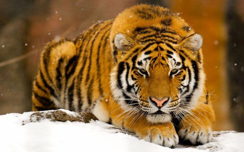 Winter snow animals orange tigers feline mammals wallpaper