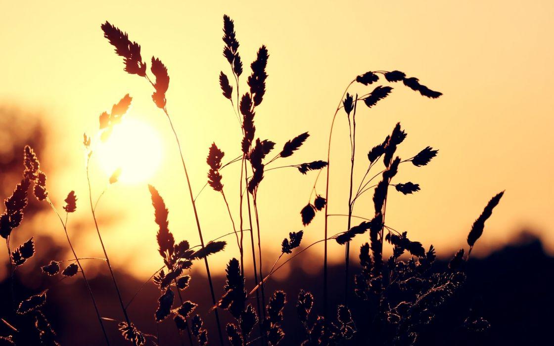 Sun wheat macro wallpaper