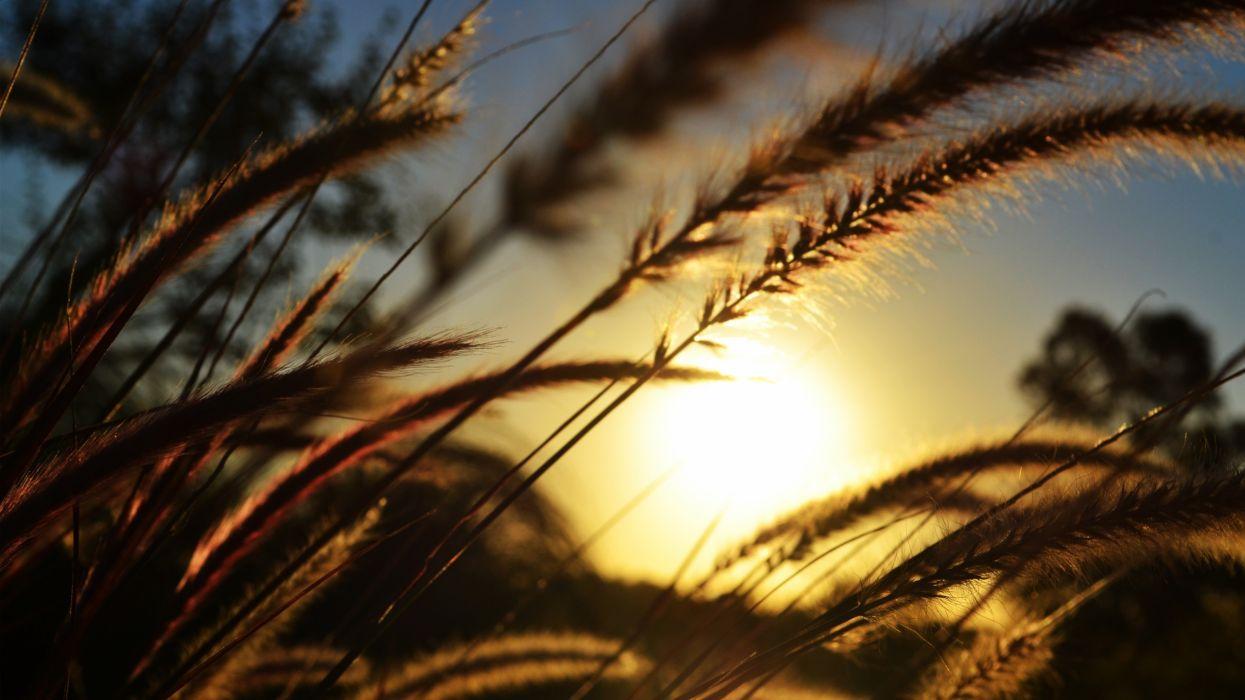 Sun wheat wallpaper
