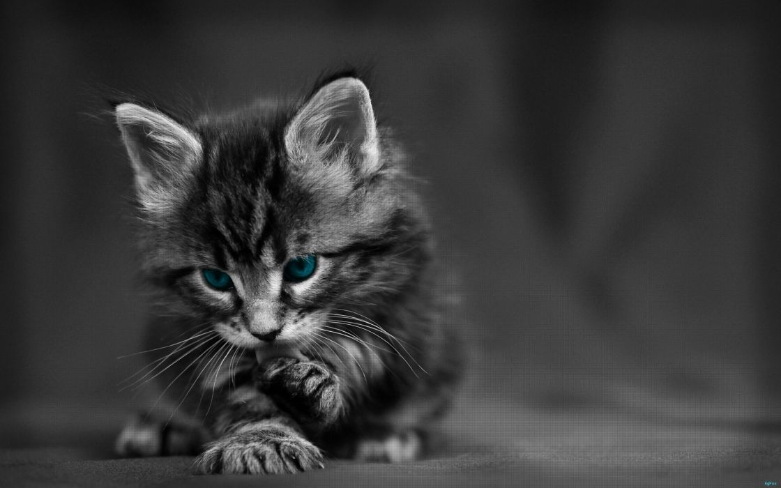Cats blue eyes animals kittens selective coloring wallpaper