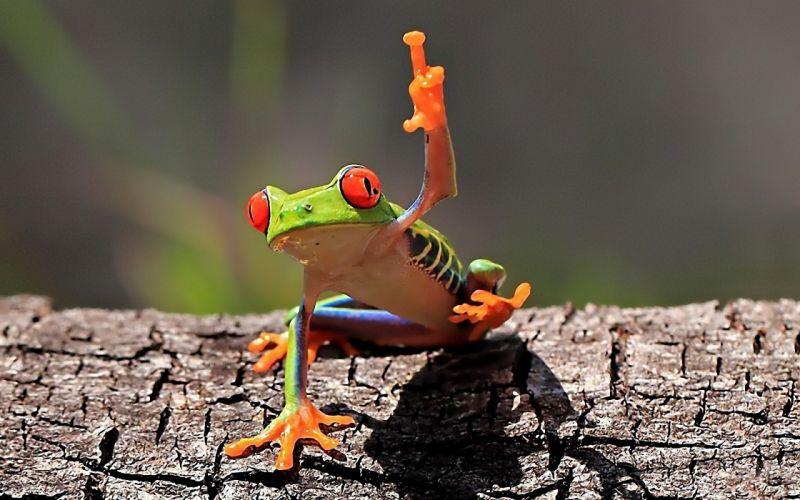 Frogs amphibians wallpaper