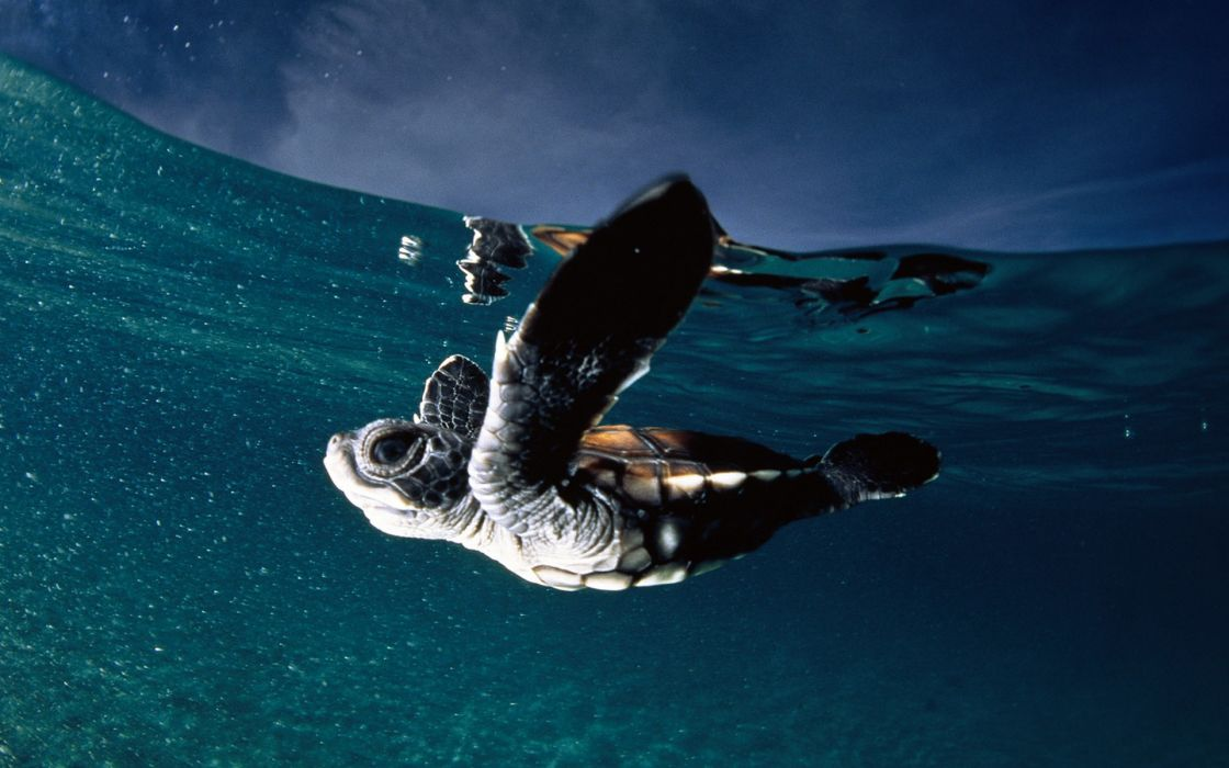 Ocean baby turtles national geographic skyscapes wallpaper