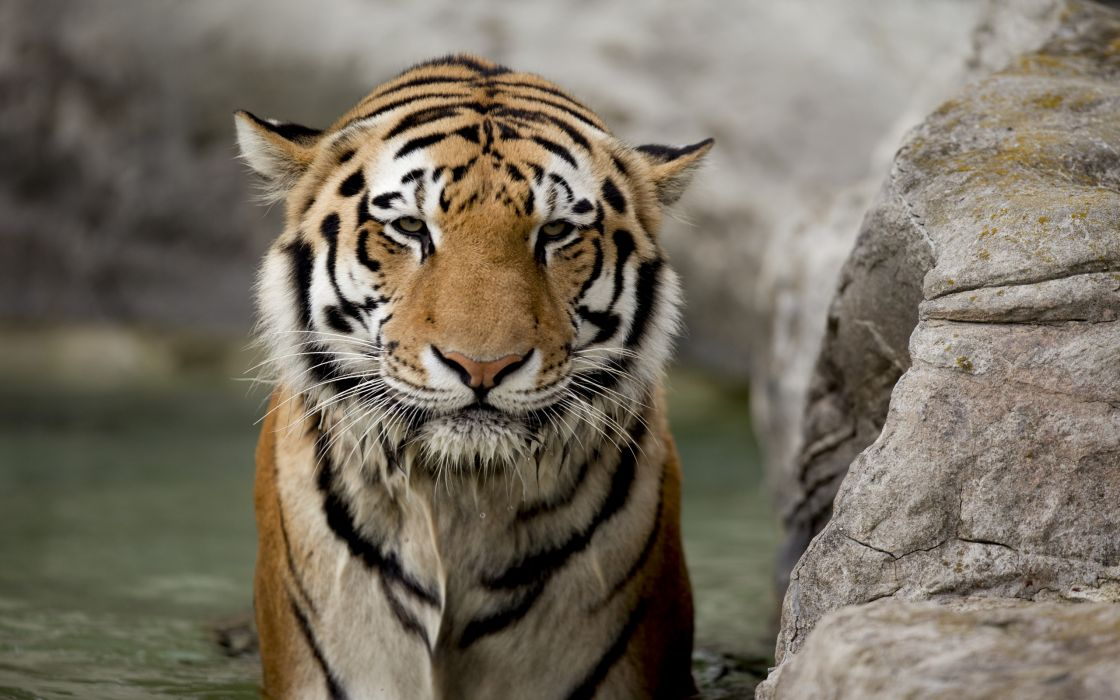Tigers bathing camouflage backgrounds bengal tigers captivity poker face wallpaper